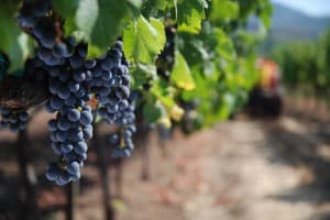 Lush red wines are a specialty in the Paso Robles area.
