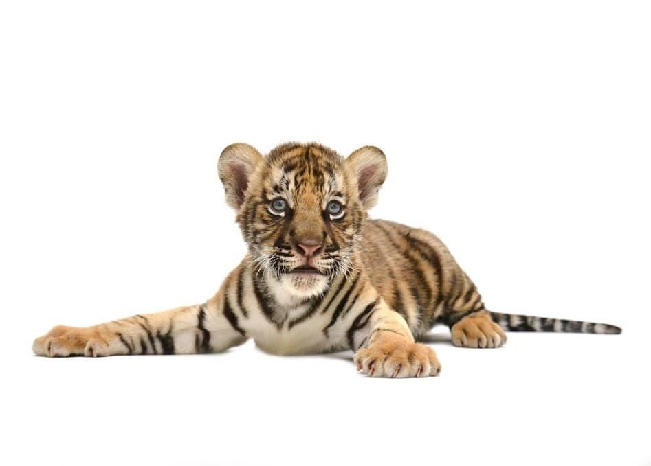 babay bengal tiger