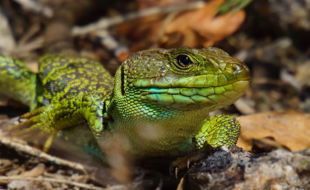 Body - Lizard