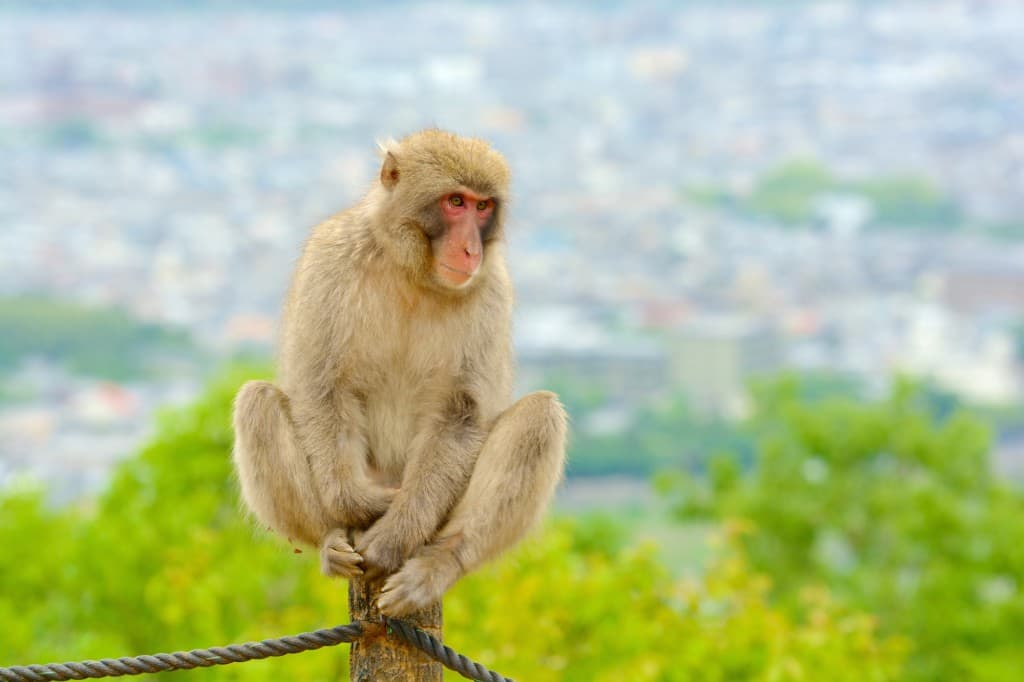 monkey park kyoto highlights