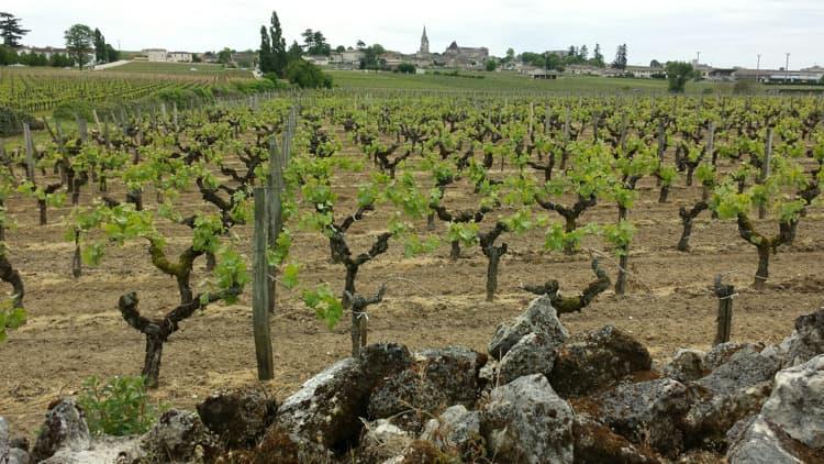 bordeaux vines