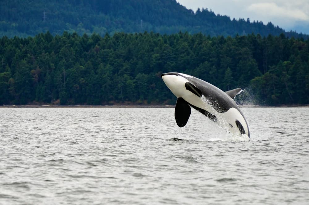 Orca near Vancouver