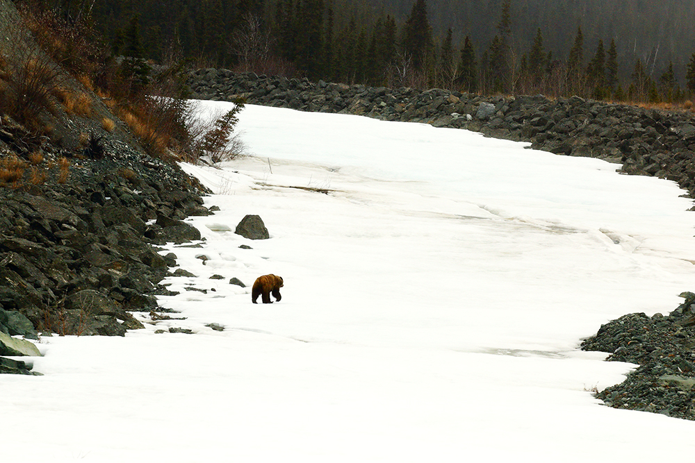 Grizzly bear walking on a frozen river in Beaver Creek, YT, one of Canada's coldest places