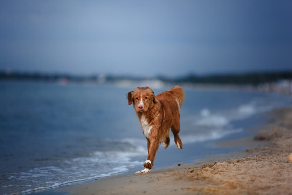 red dog running on beach