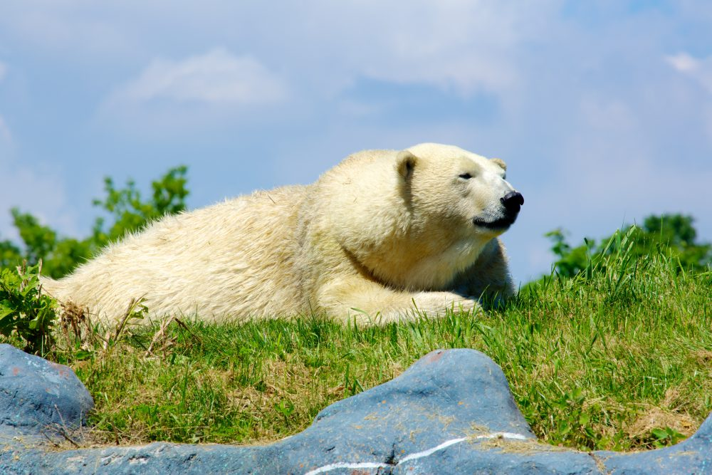 "View of a polar bear lying in grass"" title=""A polar bear lays down in a grassy spot"