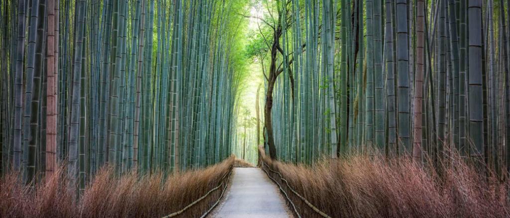 Forest bathing in Arashiyama Bamboo Grove, Japan
