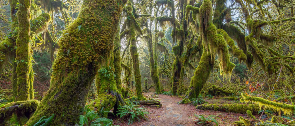 Forest bathing in Hoh Rainforest in Washington, United States