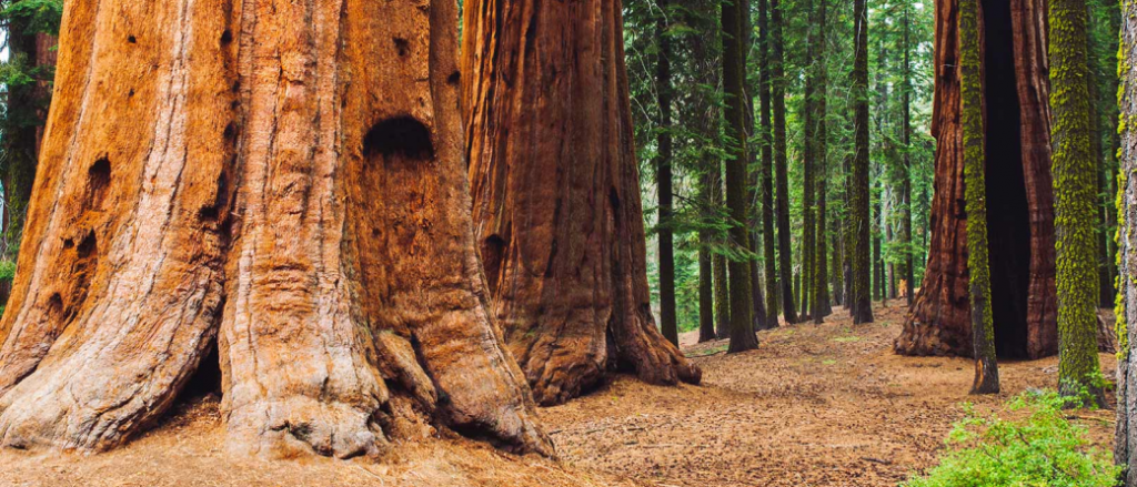 Forest bathing in Sequoia National Park in California, United States